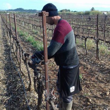 Les Vignerons de Montagnac privilégient la lutte biologique